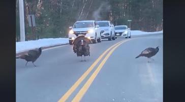 turkey-crossing